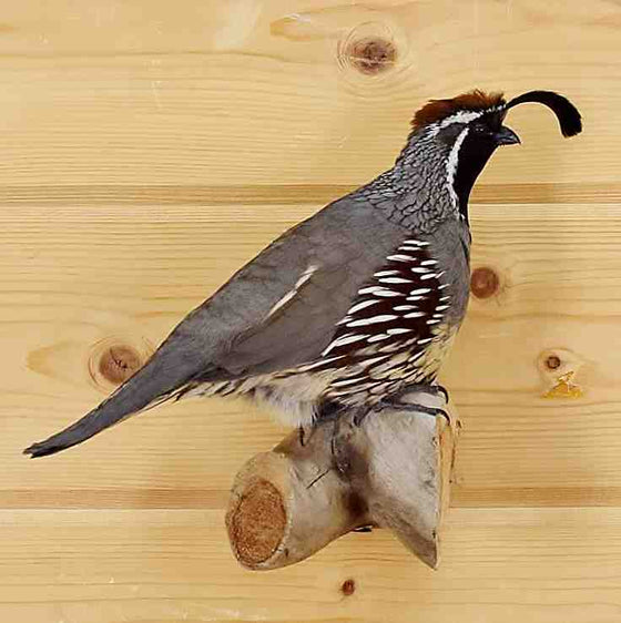 Gambel's Quail Taxidermy Mount