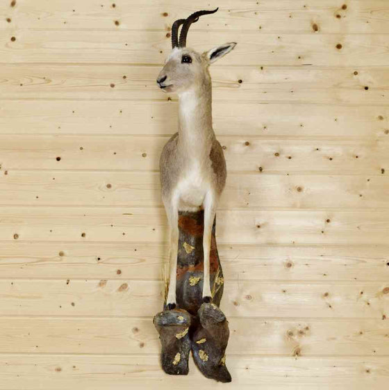 Tibetan Gazelle Taxidermy Mount - SW8992