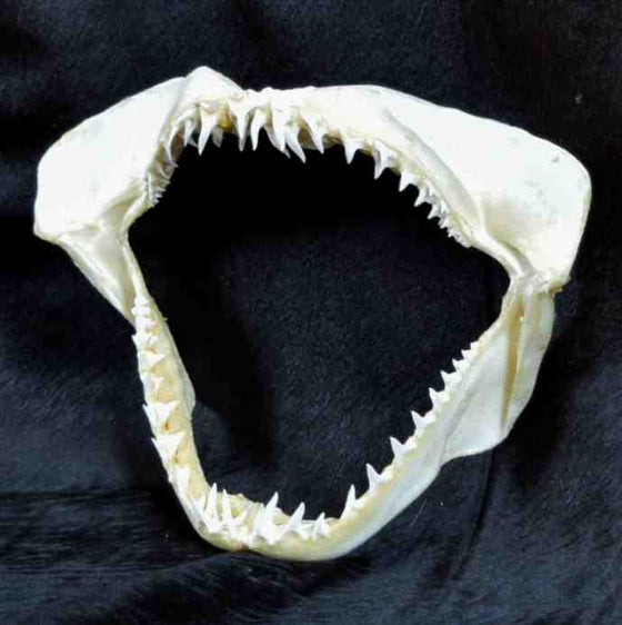 Maco Shark Jaw for Sale