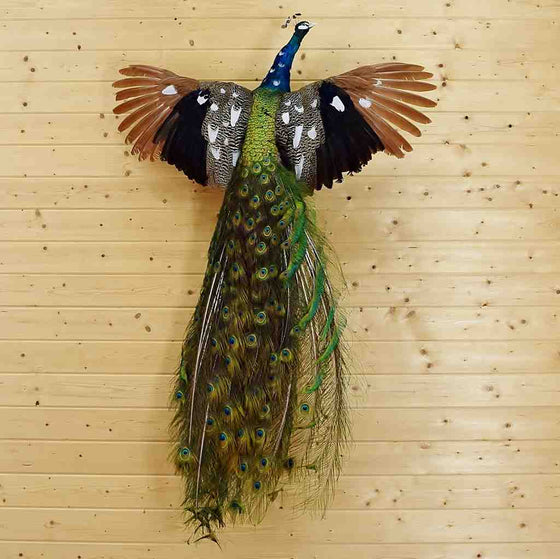 Piebald Peacock Taxidermy Mount