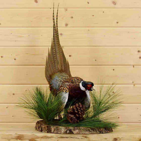 Ringneck Pheasant Taxidermy Mount for Sale