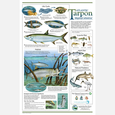 This beautiful poster provides information about the Atlantic Tarpon, Megalops atlanticus.