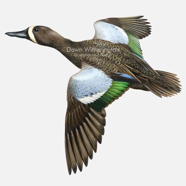 This beautiful illustration of a blue-winged teal, Anas discors, is biologically accurate in detail.