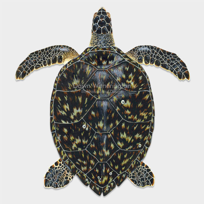 This beautiful drawing of a hawksbill sea turtle, Eretmochelys imbricata, is biologically accurate in detail.
