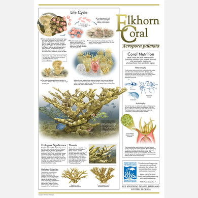 This beautiful poster provides information about the Elkhorn Coral, Acropora palmata.