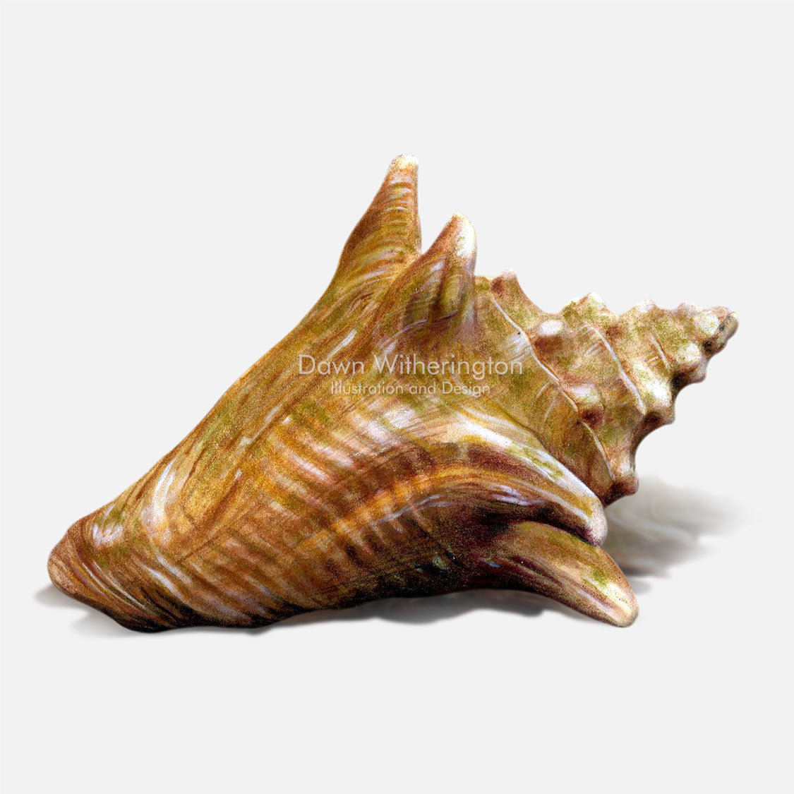 This beautiful drawing of a sub adult queen conch, Strombus gigas, is biologically accurate in detail.