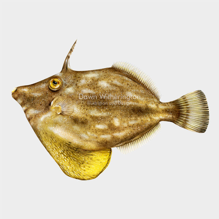 This beautiful dillustration of a planehead filefish, Stephanolepis hispiduss, is biologically accurate in detail.