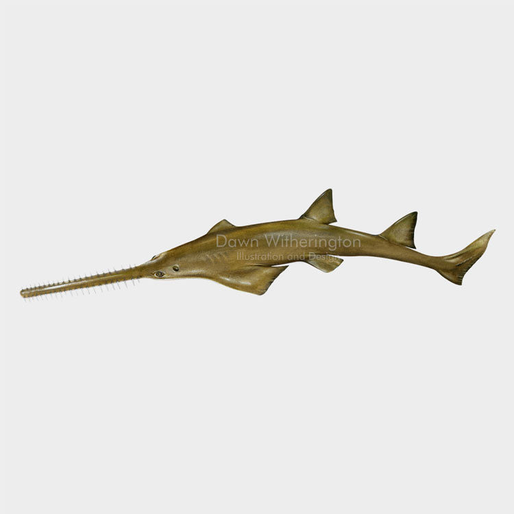 This wonderful drawing of a smalltooth sawfish, Pristis pectinata, is biologically accurate in detail.