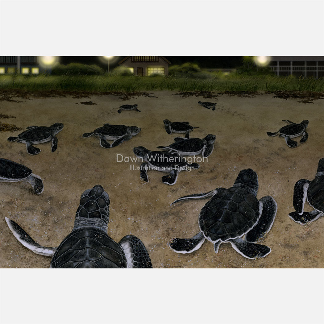 This illustration is of green turtle green turtle hatchlings, Chelonia midas, disoriented by bad lights.