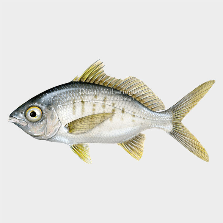 This beautiful illustration of a yellowfin mojarra, Gerres cinereusi, is biologically accurate in detail.