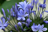 Agapanthus africanus (Lily of the Nile)