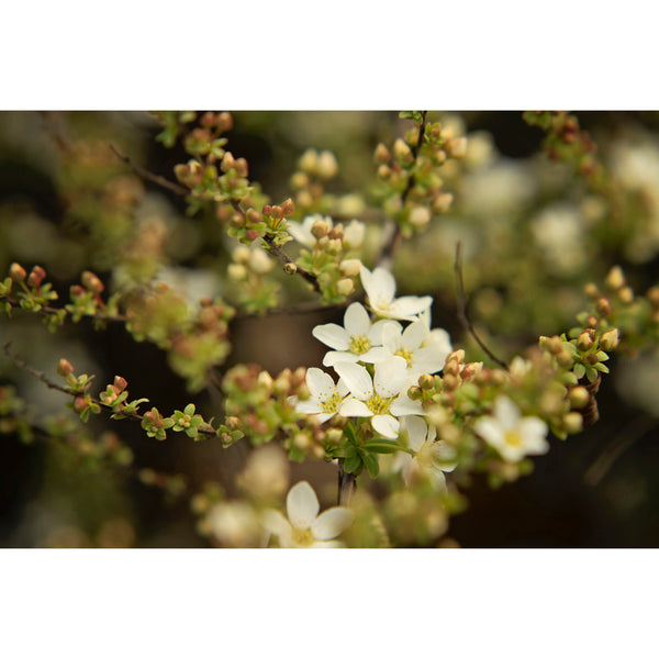 Spring Spirea Three