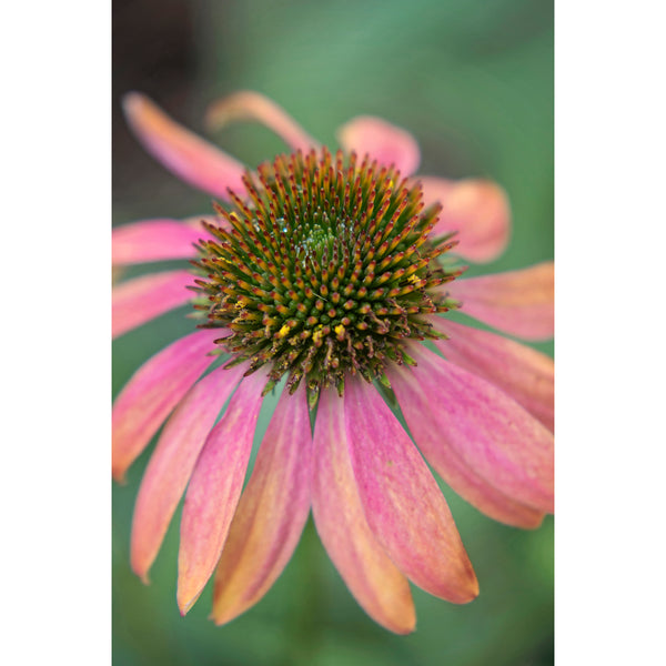 Coneflower Two