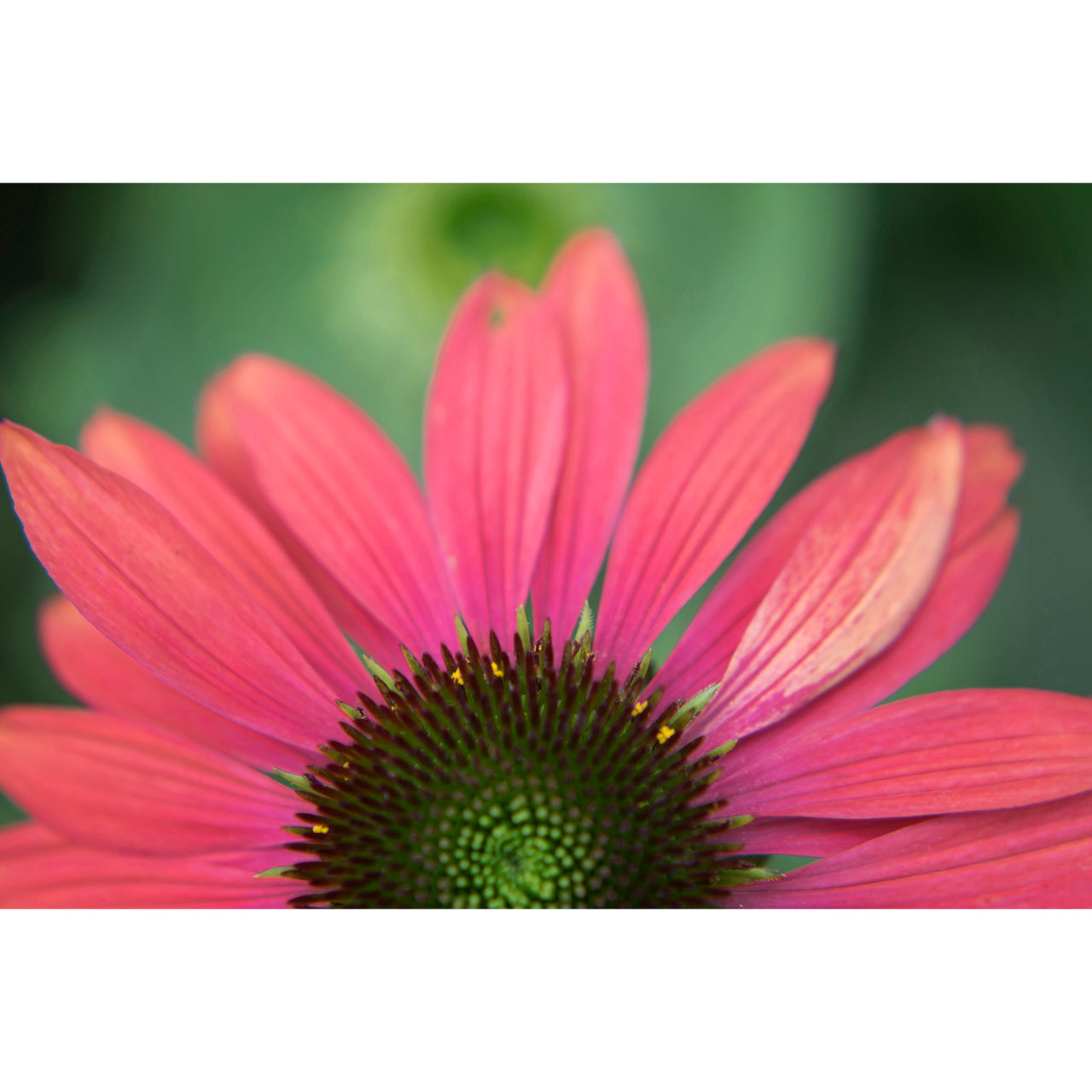 Coneflower Four