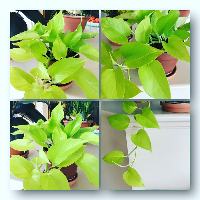 To Pothos or not to Pothos my Neon Lovely House Plant alt image
