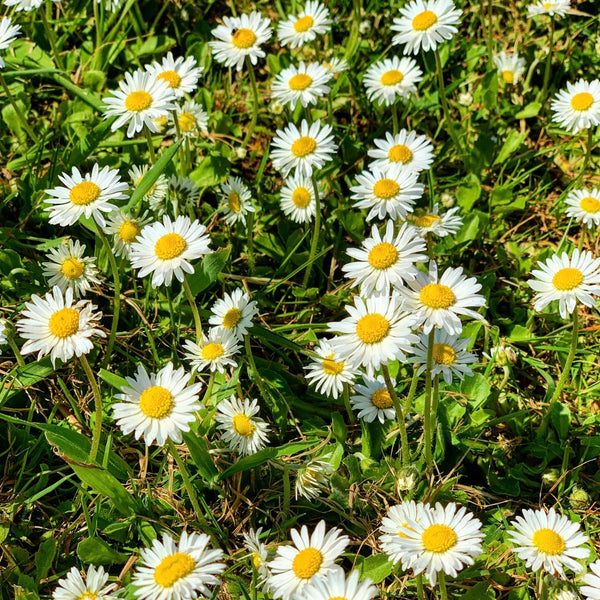 Daisy colony at Pippettes Farm - Bellis perennis