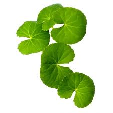 "Gotu Kola the ""Go To"" herb for your skin, body and brain!"