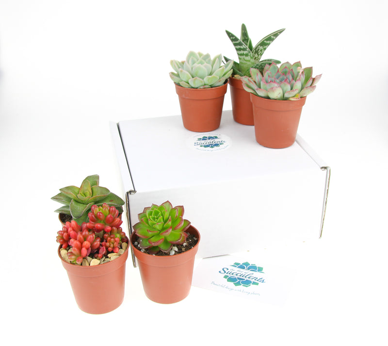 Succulent plants to buy online