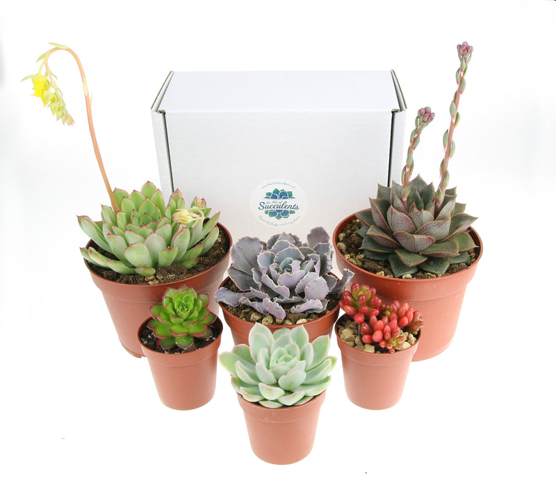 Large succulent plant selection for terrariums