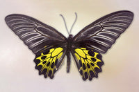 Golden Birdwing - Art Prints by Richard Reynolds