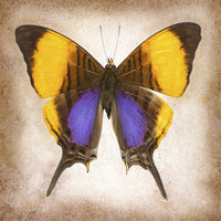 Pansy Daggerwing - Art Prints by Richard Reynolds