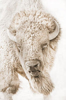 Great Plains Buffalo Sepia – Art Prints by Robert Dawson