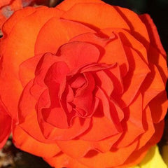Begonia Tuberosa Orange - IN STORE PICK-UP ONLY