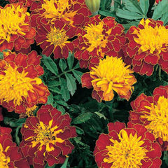 Marigold Cresta Spry - IN STORE PICK-UP ONLY