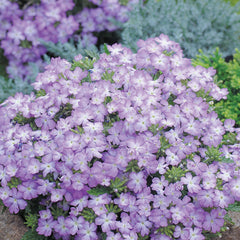 Verbena Lavender - IN STORE PICK-UP ONLY