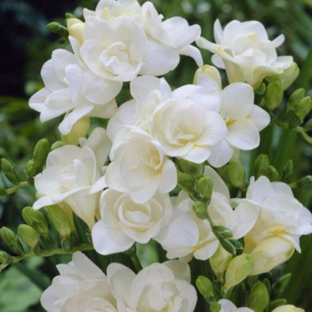 Freesia (2-3 days for delivery)