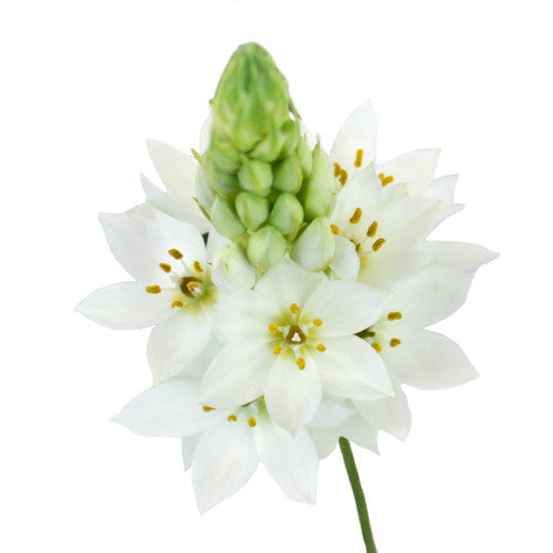 Star of Bethlehem (2-3 days for delivery)