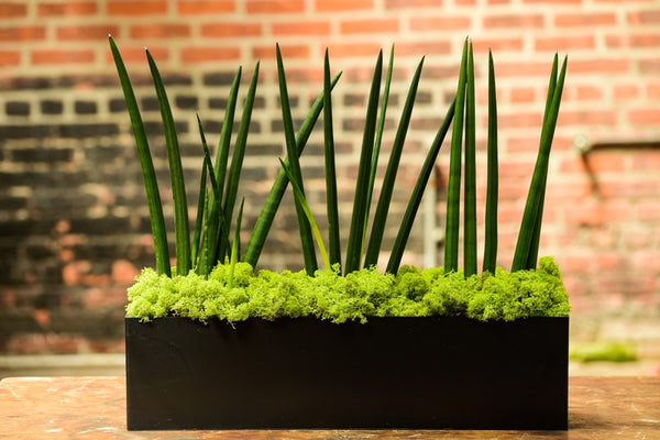 Sansevieria Cyndrilica Matte Black Rectangle