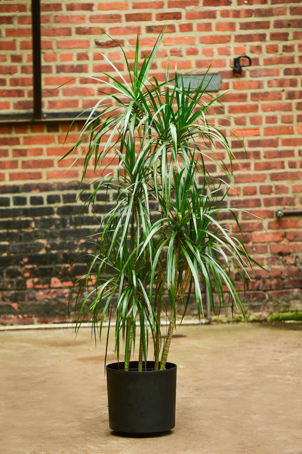 'Dragon Tree' Dracaena marginata