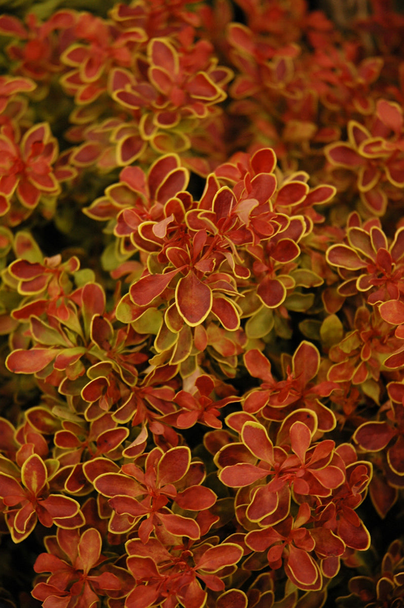 Barberry, Admiration Japanese