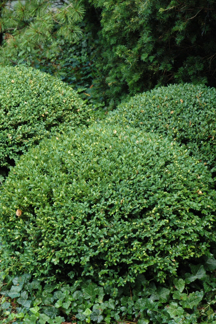 Boxwood, Northern Charm