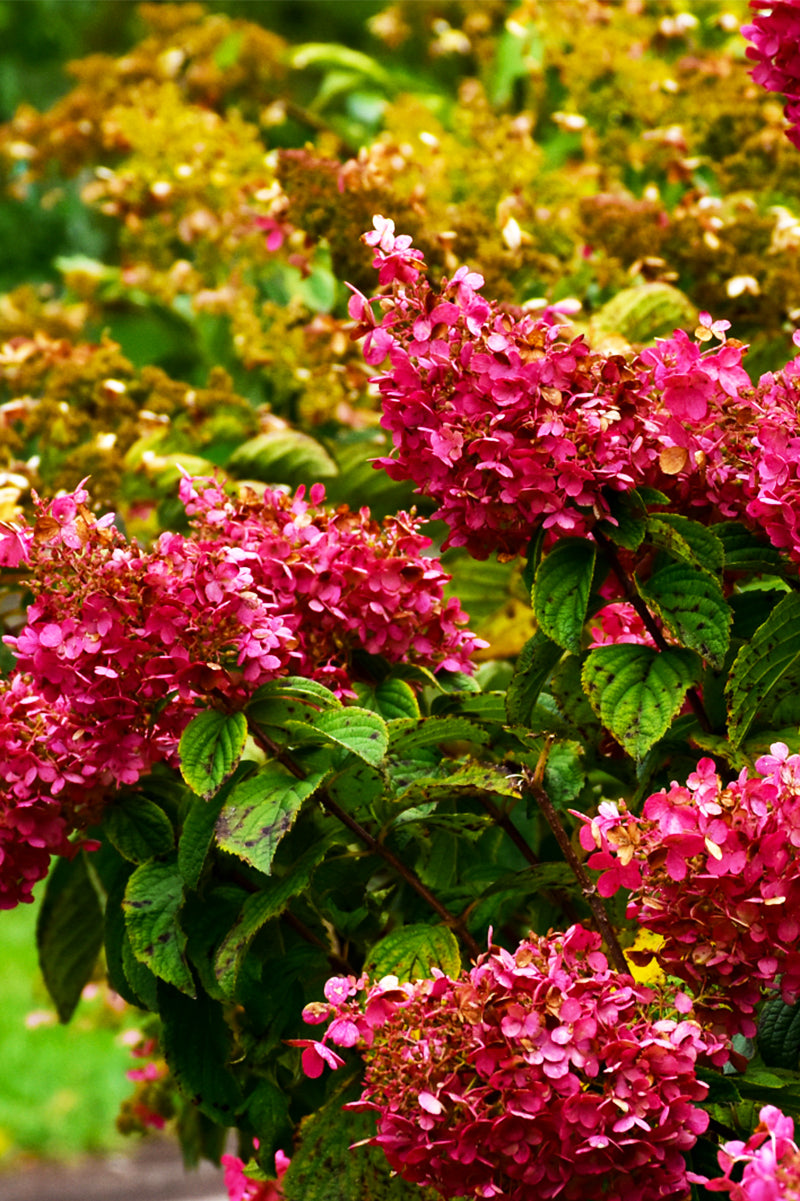 Hydrangea, Panicle - Diamond Rouge®