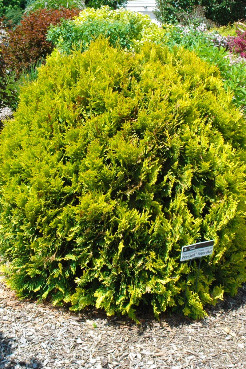 Arborvitae, Fire Chief
