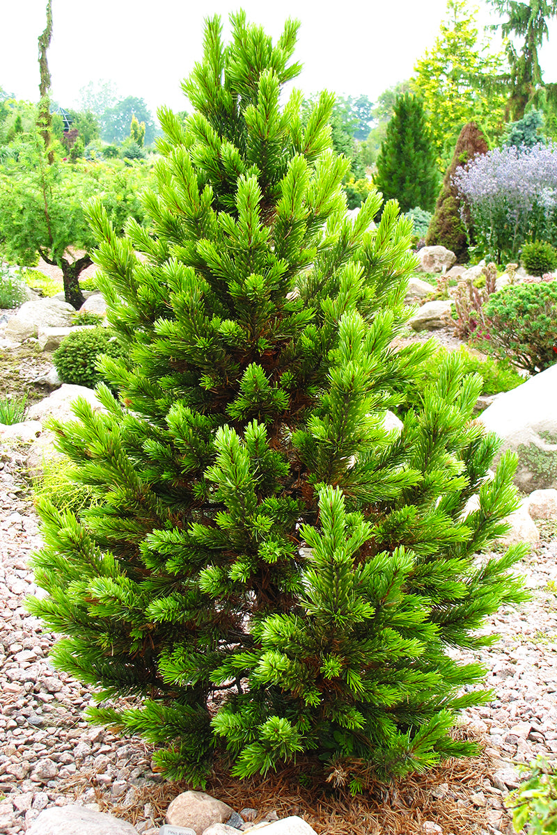 Pine, Bristlecone Formal Form