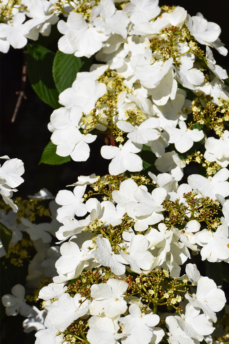 Viburnum, Igloo Doublefile