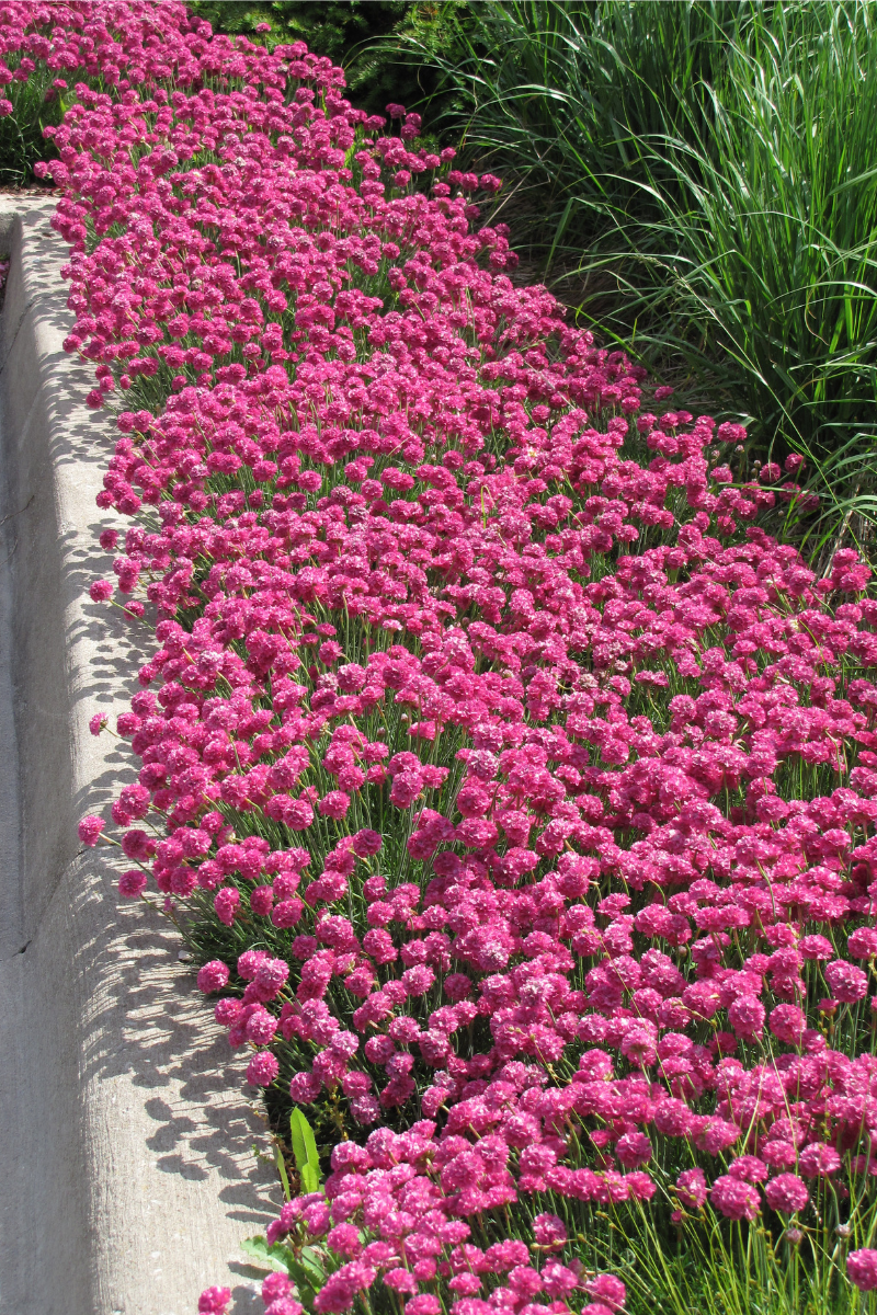 Sea Thrift, Dusseldorf Pride