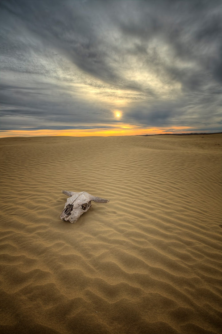 An old bull skull at the Great Sandhills in Saskatchewan
