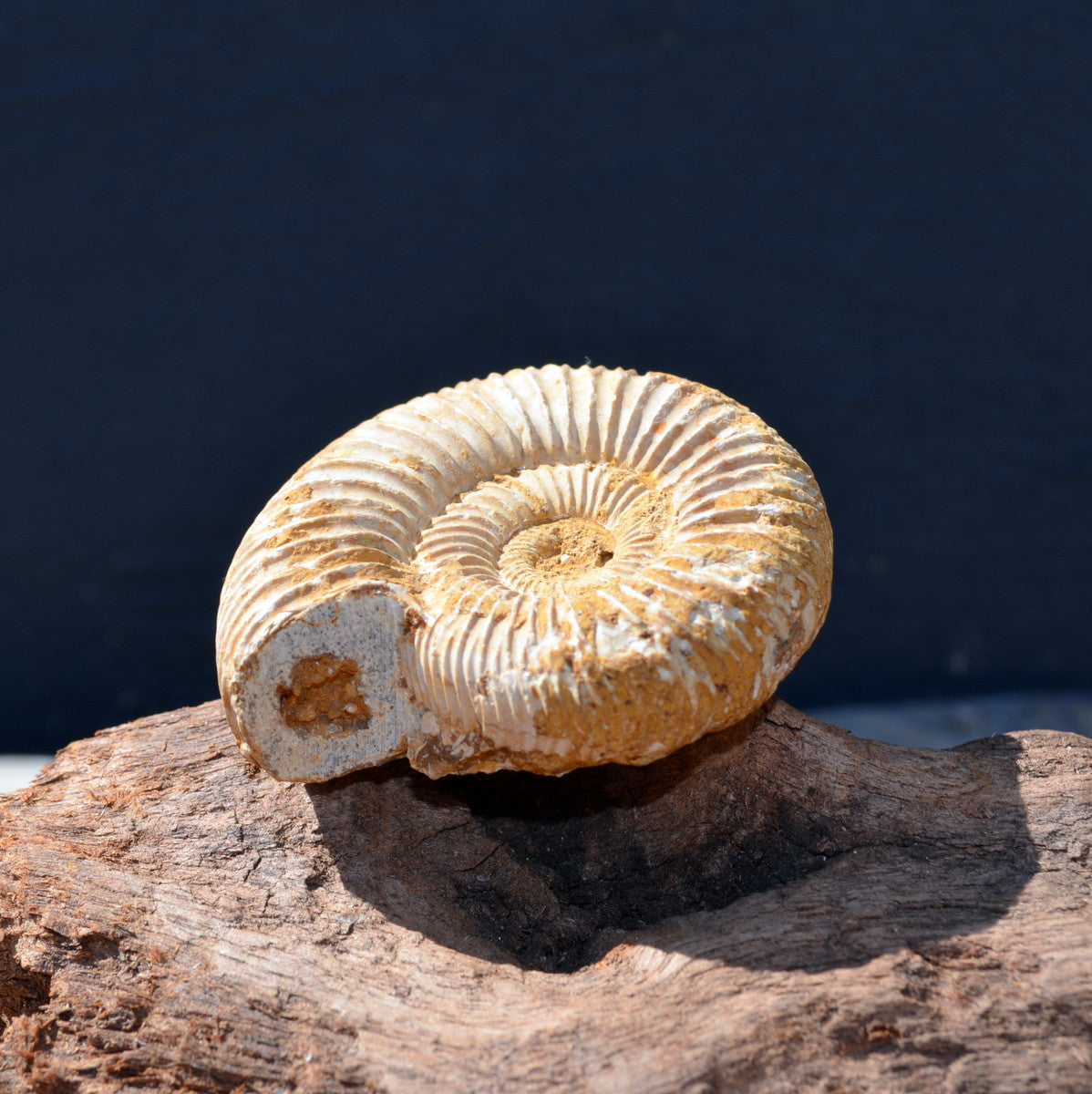 White Spined Ammonite Fossil Madagascar