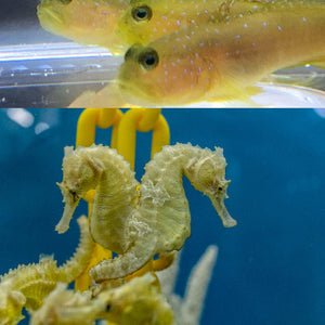 Saddled Erectus Seahorses Pair and 1 Yellow Watchman Goby