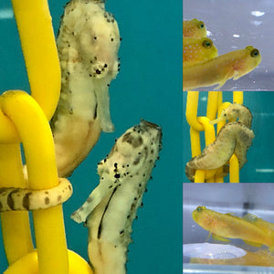 SAVVY SPECIAL-Captive Bred Tiger Tail Seahorse Pair and Single Yellow Watchman Goby