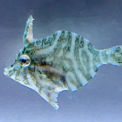 Biota Captive Bred-Radial Filefish