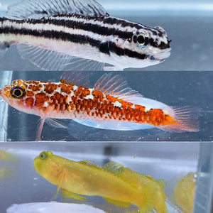 SAVVY SPECIAL-Trio of Captive Bred Gobies (Link's, White Spotted Dwarf, and Yellow Watchman)