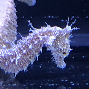 15 Dwarf Seahorses Plus 1 FREE-Captive Bred H. zosterae