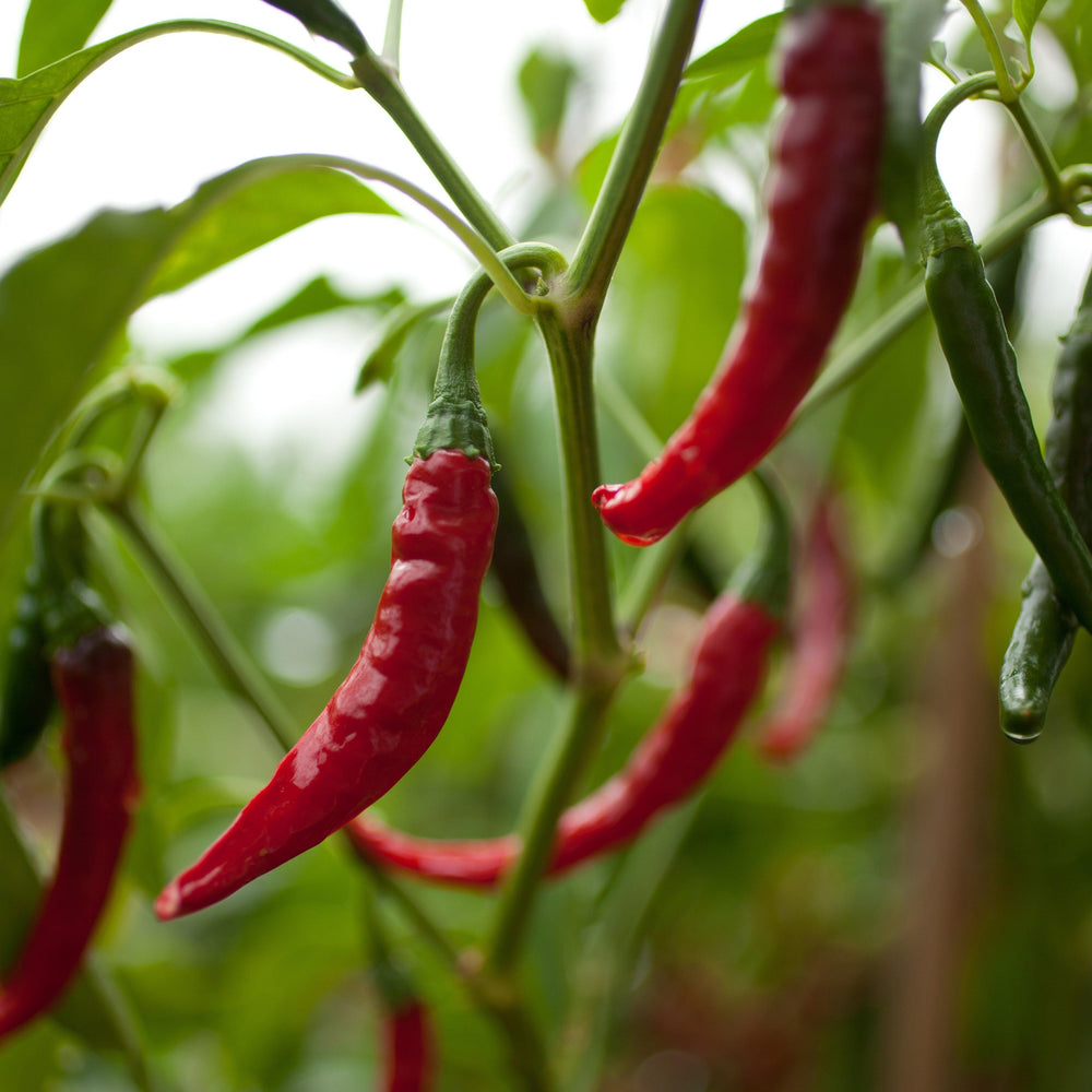 Cayenne Pepper Seed Pack - The Shops at Mount Vernon - The Shops at Mount Vernon