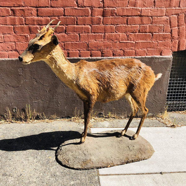 Barbary Sheep Full Mount - City Home - Portland Oregon - Furniture and Home Decor