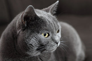 image for Getting to Know Your Chartreux Cat